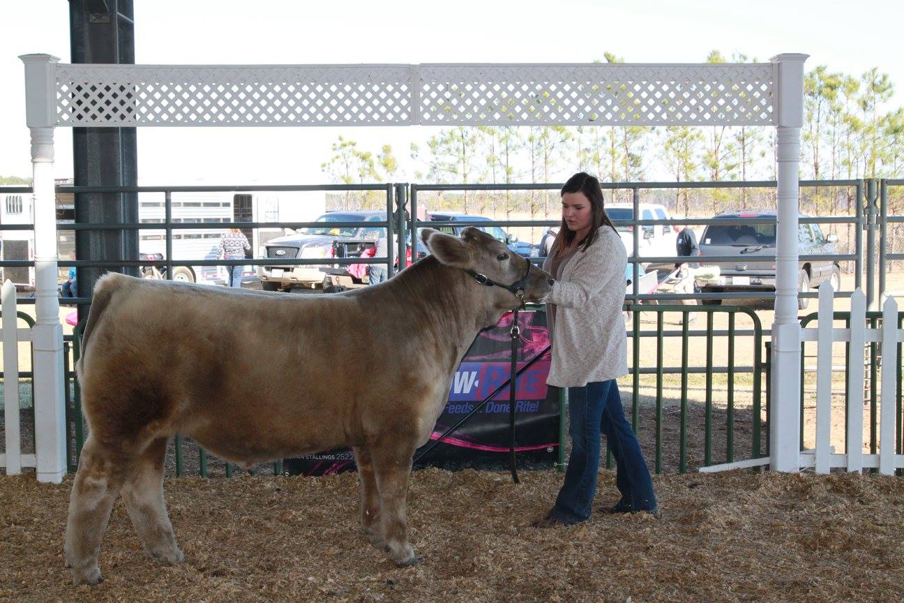 Girl showing cow at 4-H Youth Livestock show