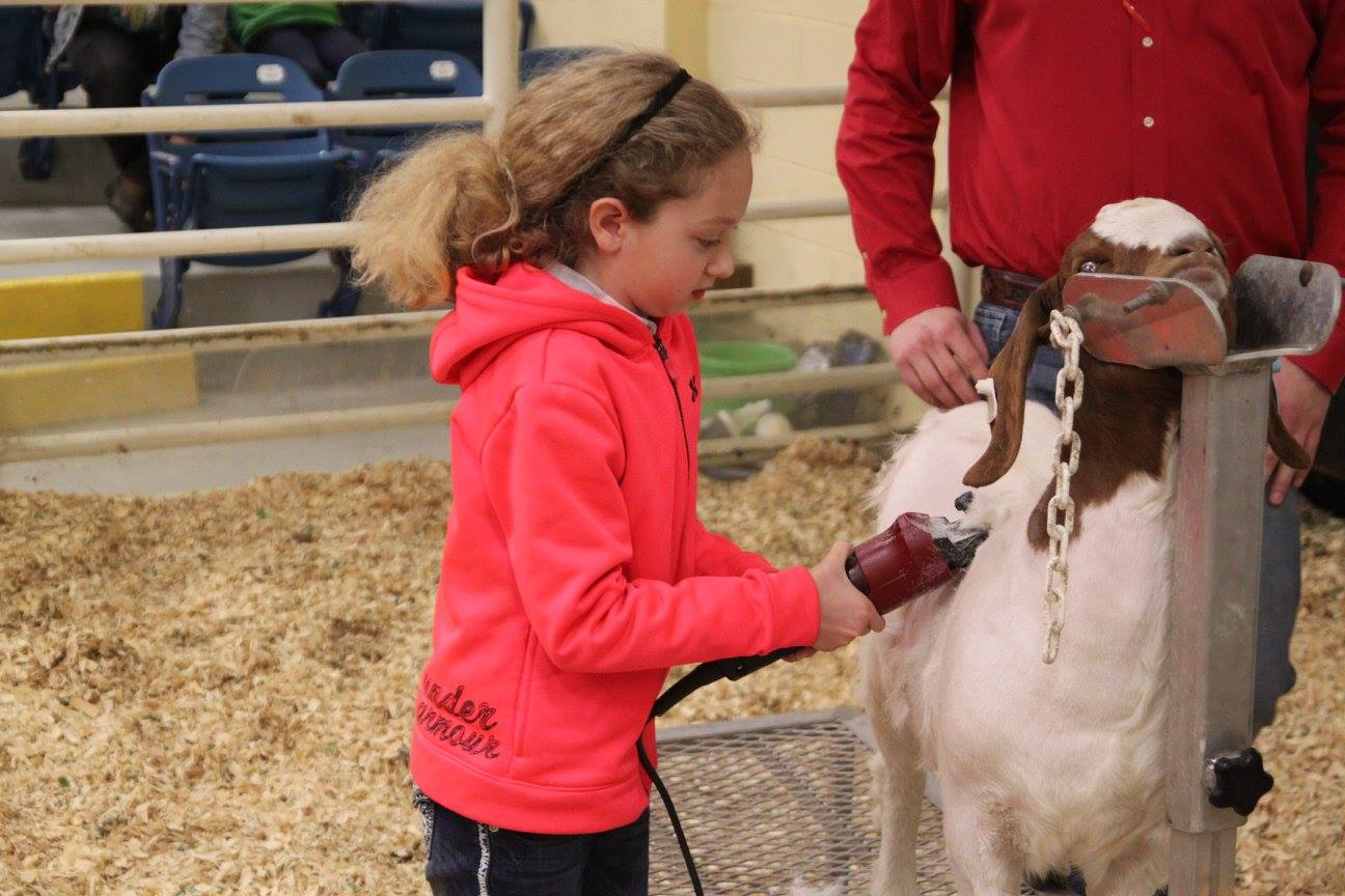 young girl grooming her goat