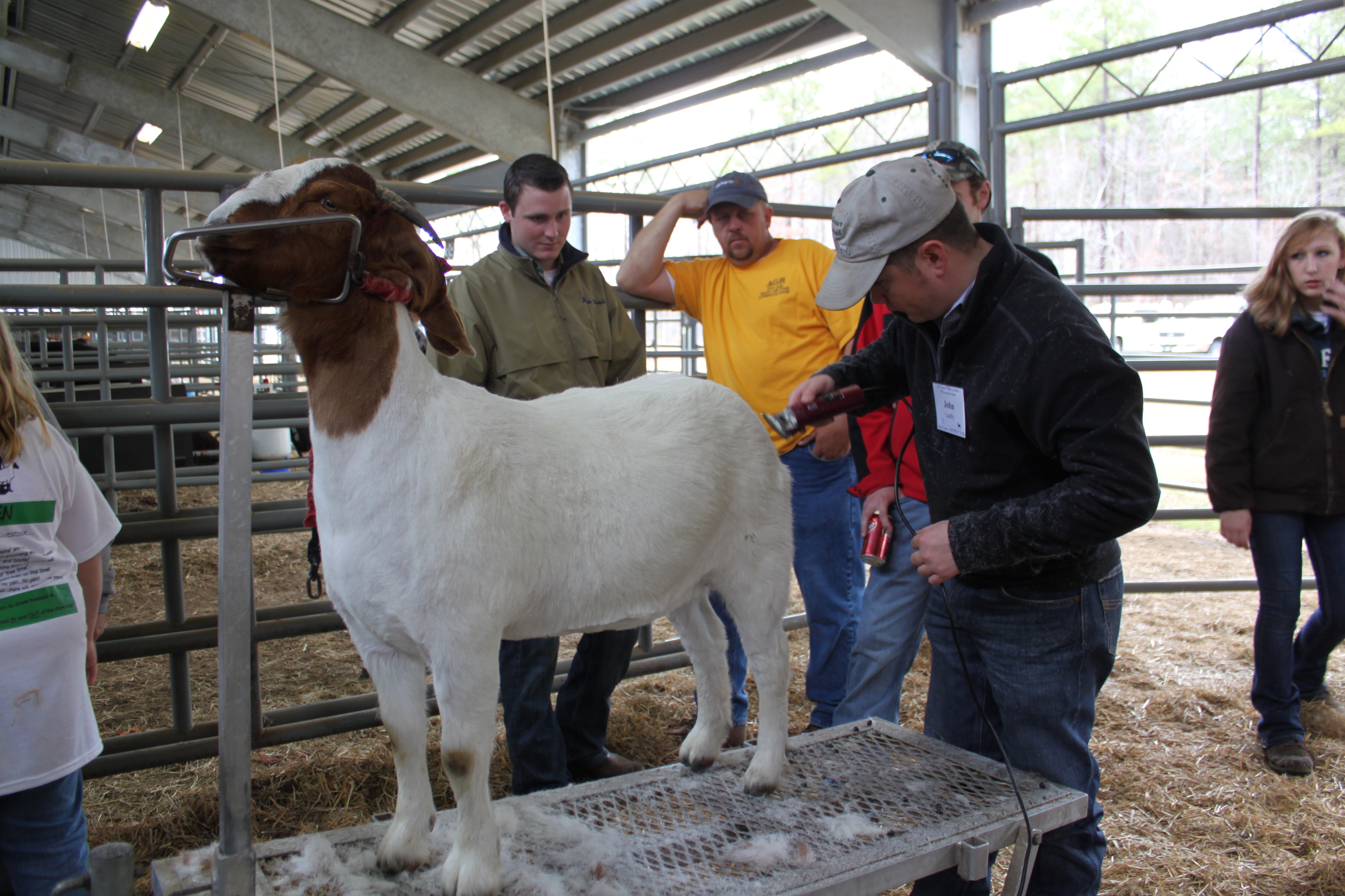 youth grooming a goat