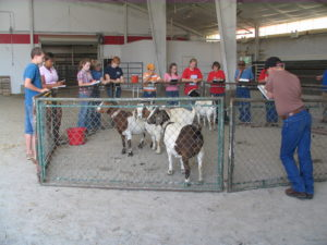 Cover photo for State 4-H Livestock Clinics