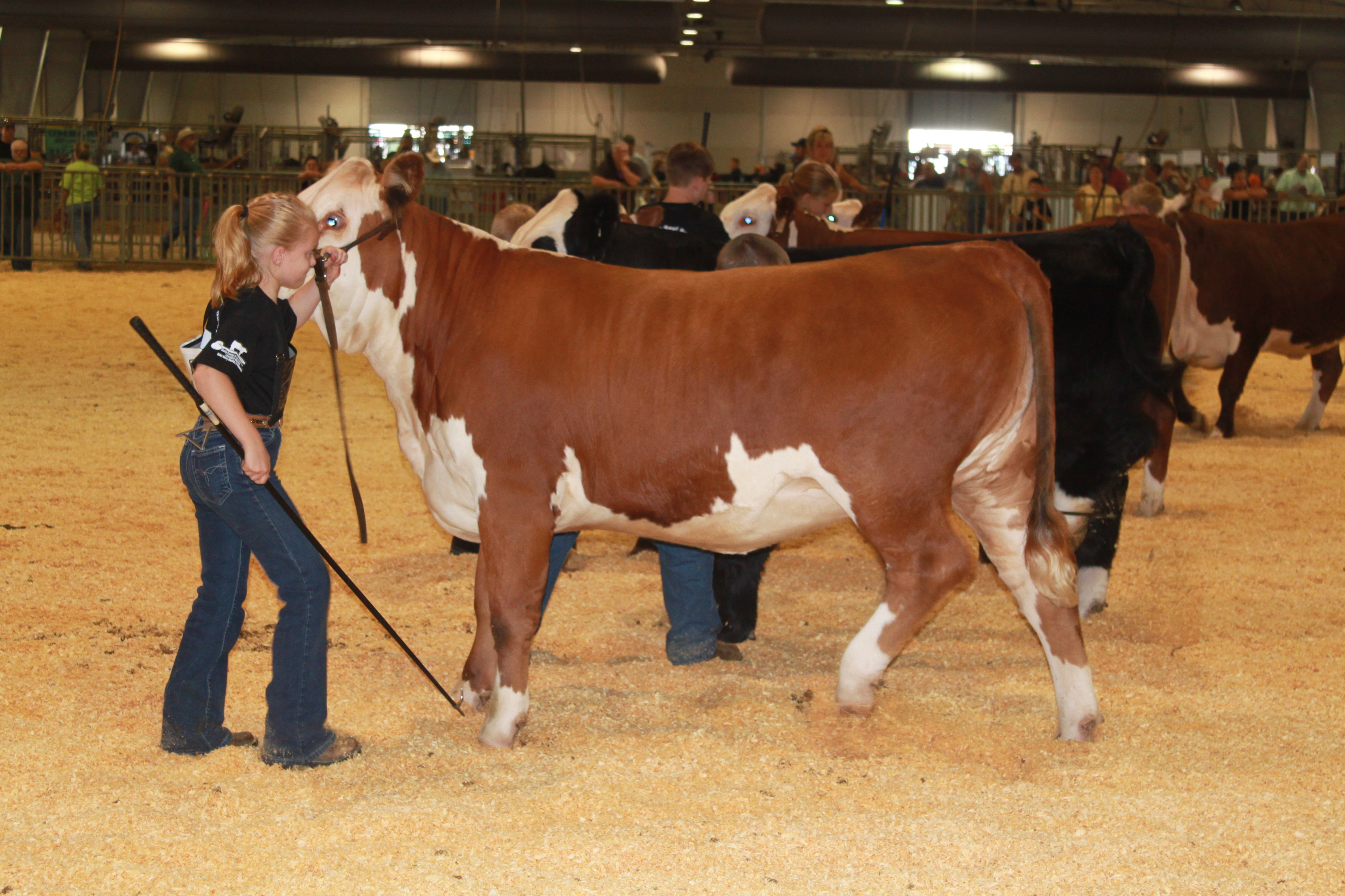 young girl showing a heifer
