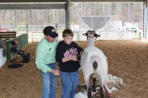 Shearing lamb
