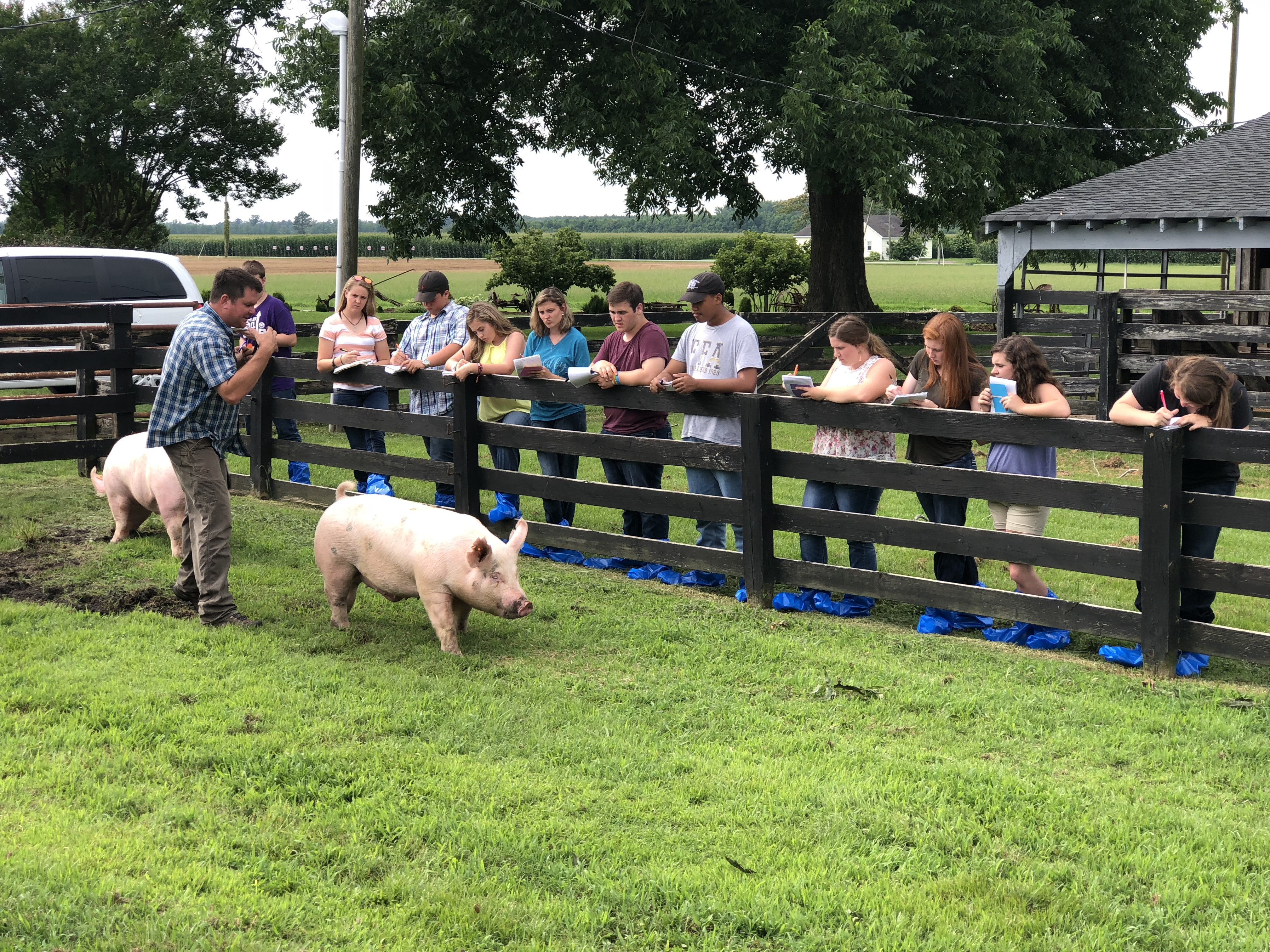 youth judging pigs